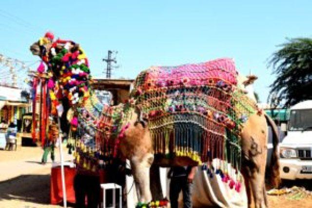 Decorated camel in Pushkar fair