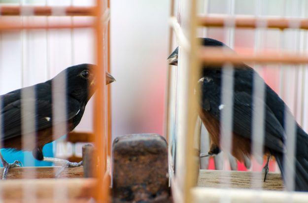 1. Two Chestnut-bellied seedfinches face off in a bird race. / 2. A young man and his bird in central Georgetown.