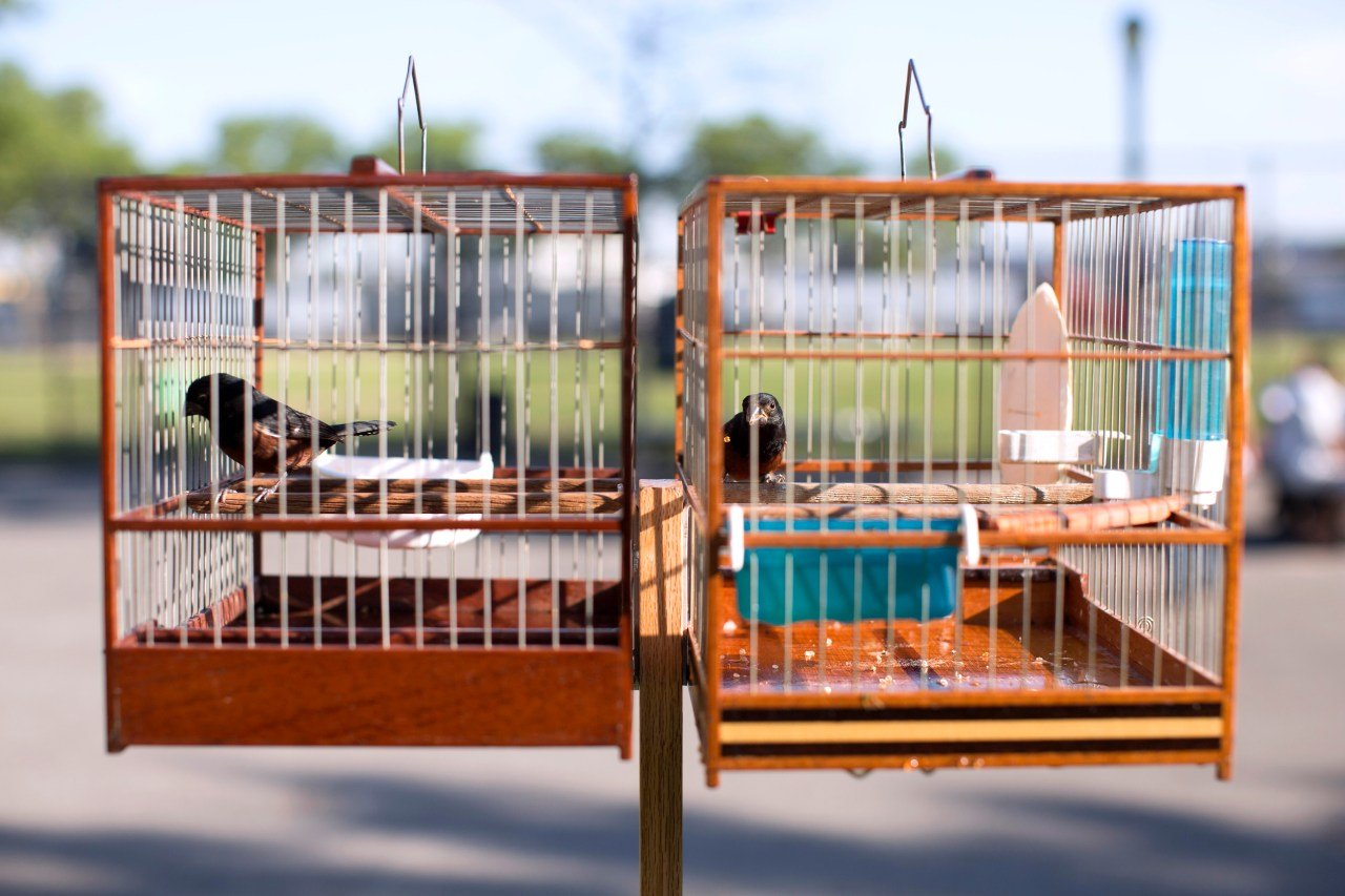 "Two chestnut-bellied seed finches sit in their cages at Phil ""Scooter"" Rizzuto Park in Queens, New York. (Photo by Brian Harkin)"