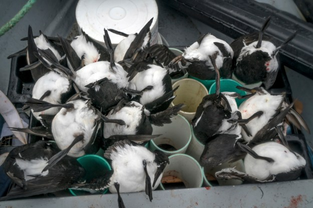 1. Freshly killed murres are kept head down in tubes to let any blood drain into the boat. 2. Butler aims from the deck of his boat.