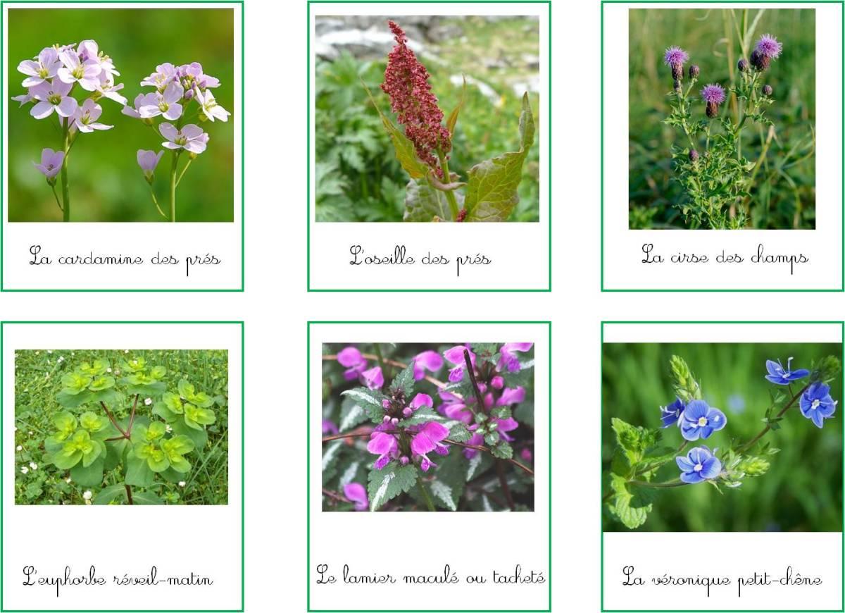 Fleurs des champs : cartes de nomenclature