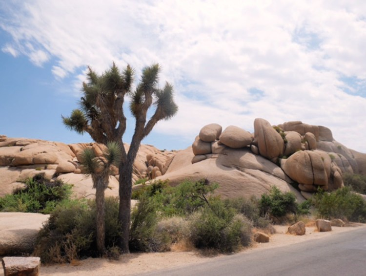 Joshua Tree in Joshua Tree National Park, California #joshuatree #exploremore