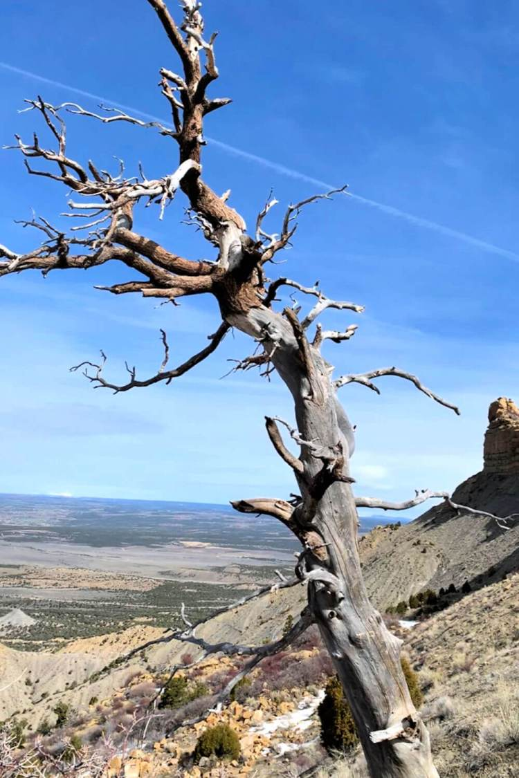 Tree at Montezuma Valley Overlook, Mesa Verde NP #mesaverde #nationalparktrees