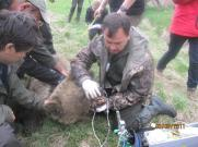 Laco tagging bears earlier this year