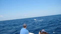 Black marlin close to the boat