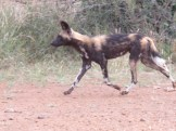 Wild Dog at Laikipia Wilderness