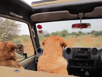 Two dogs watching wild dogs