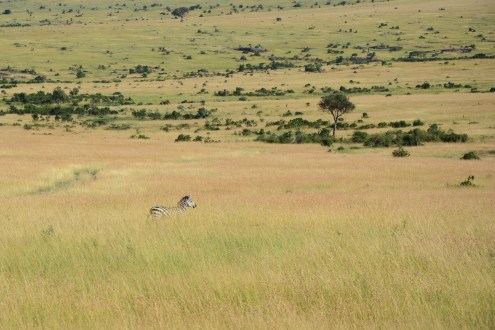 Zebra in Masaai Mara.