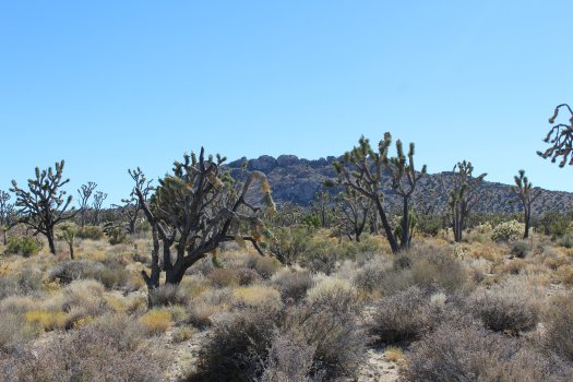 Joshua Trees along the Teutonia Peaks Trail