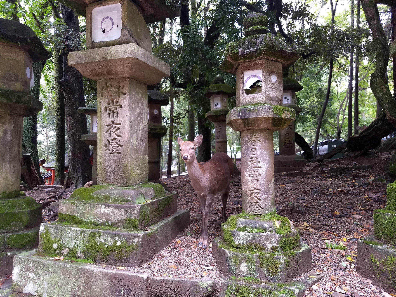 Nara deer between the lanterns