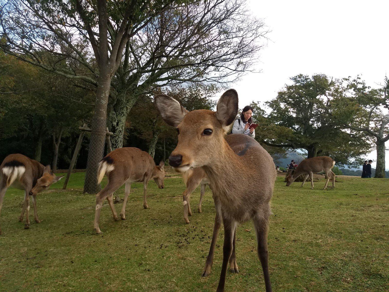 Deer at Mt. Wakakusa