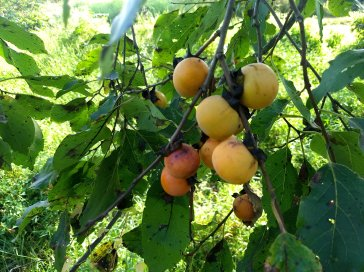 Persimmons ripening on a tree - 9/2019
