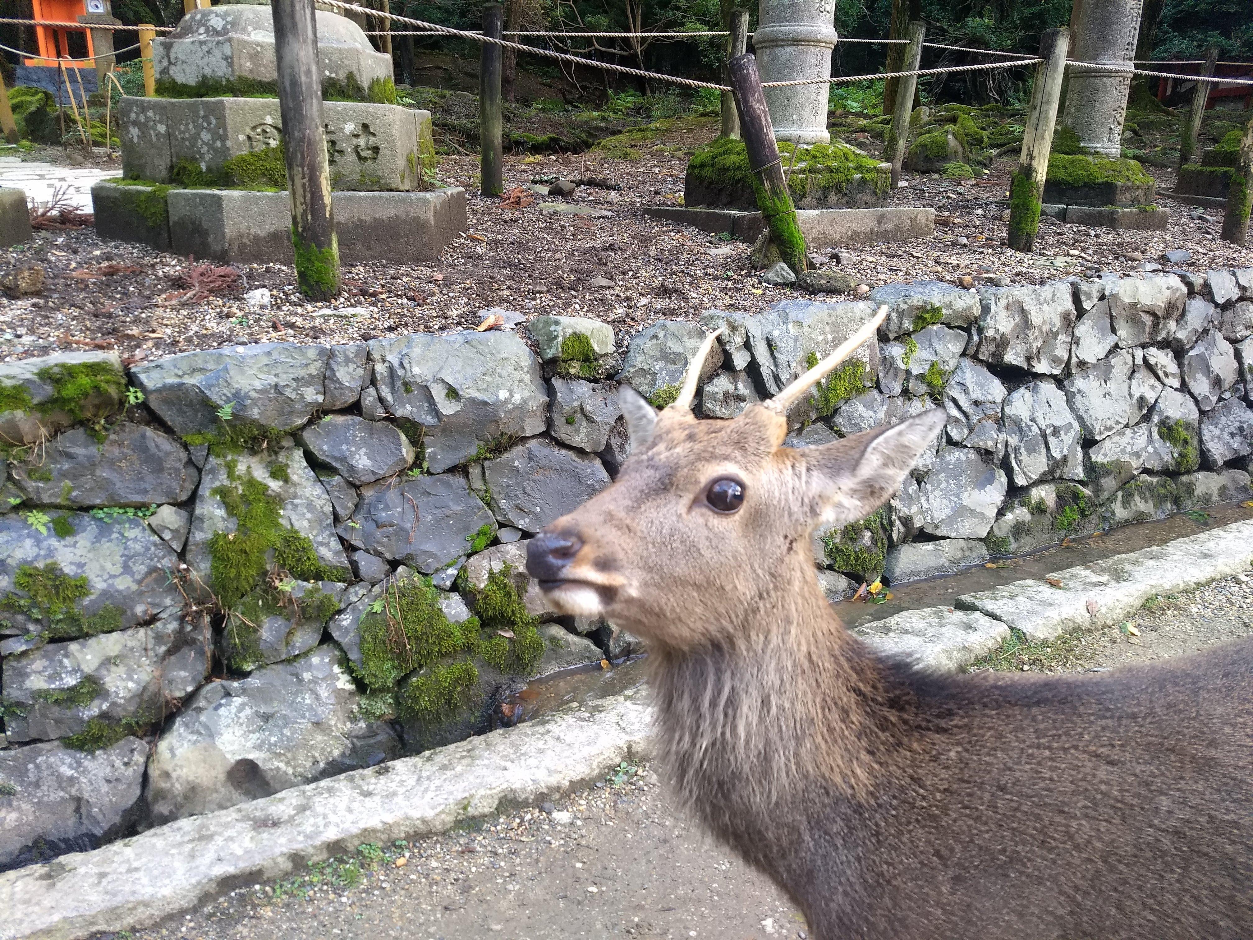 Buck at Nara Deer Park - 10-26-2019