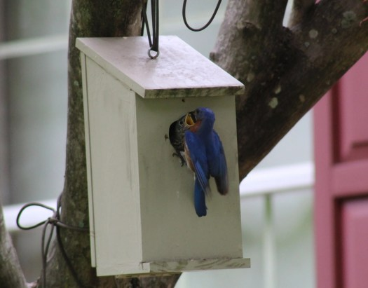 Bluebird fledgling and adult male feeding - 5-25-2020