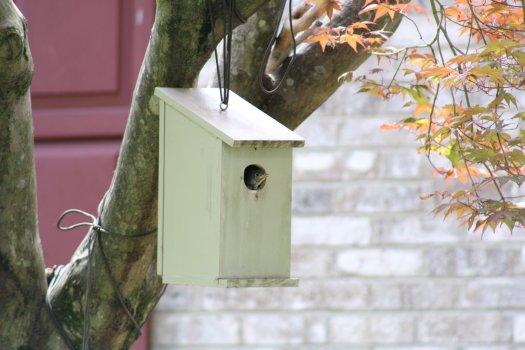 Bluebird fledgling peeking out of nestbox - 5-25-2020