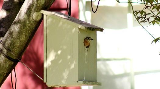 Female bluebird guarding her eggs - 06-26-2020