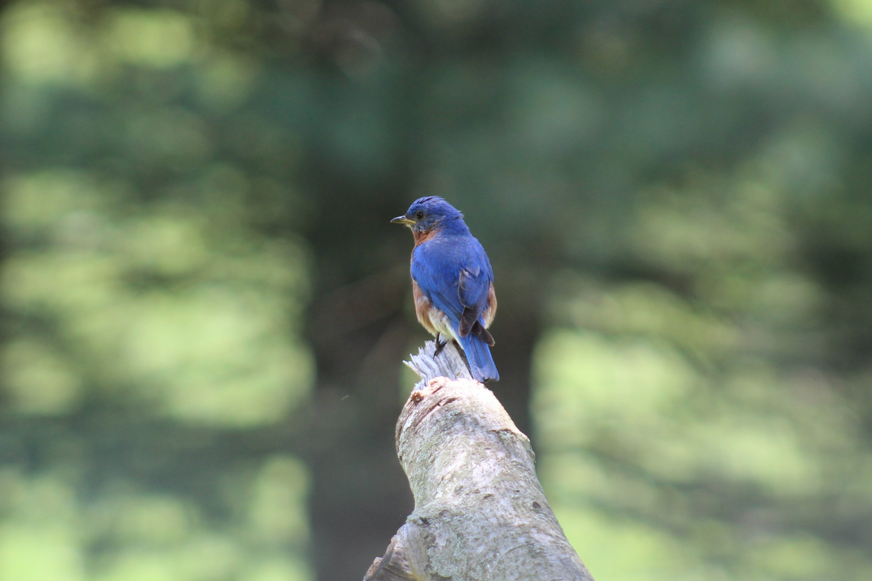 Male bluebird perched on Maple branch left - 06-01-2020