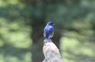 Male bluebird perched on Maple branch right - 06-01-2020