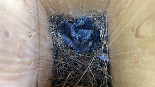 Blue brood 3 - 05-21-21