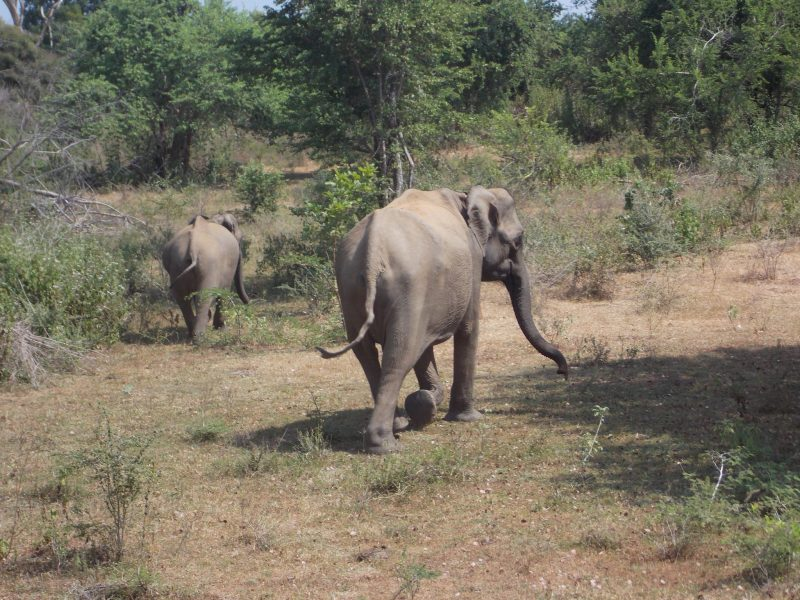 Roaming Elephants