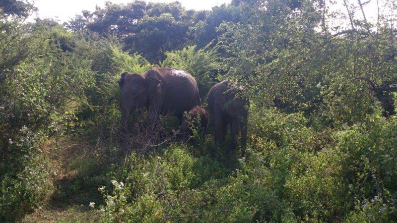 A triplet of Asian Elephants