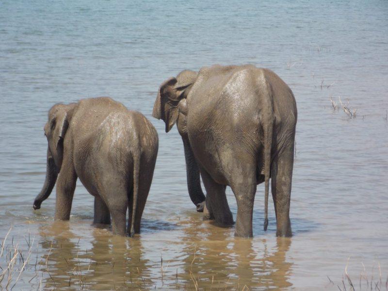 Two Elephants Having a Bath