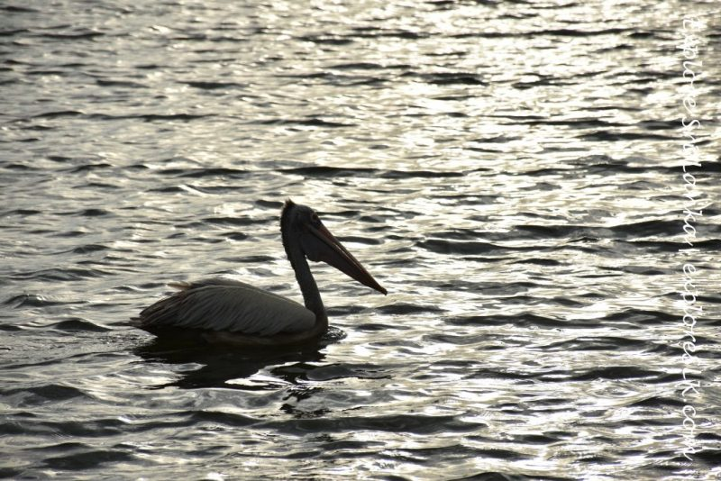 A pelican at the lake