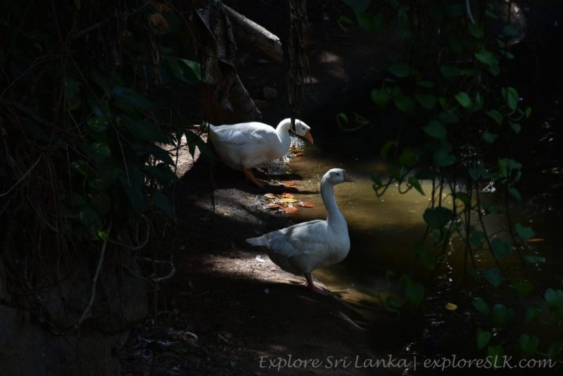 White Geese couple