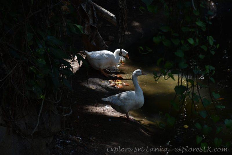 White Geese couple