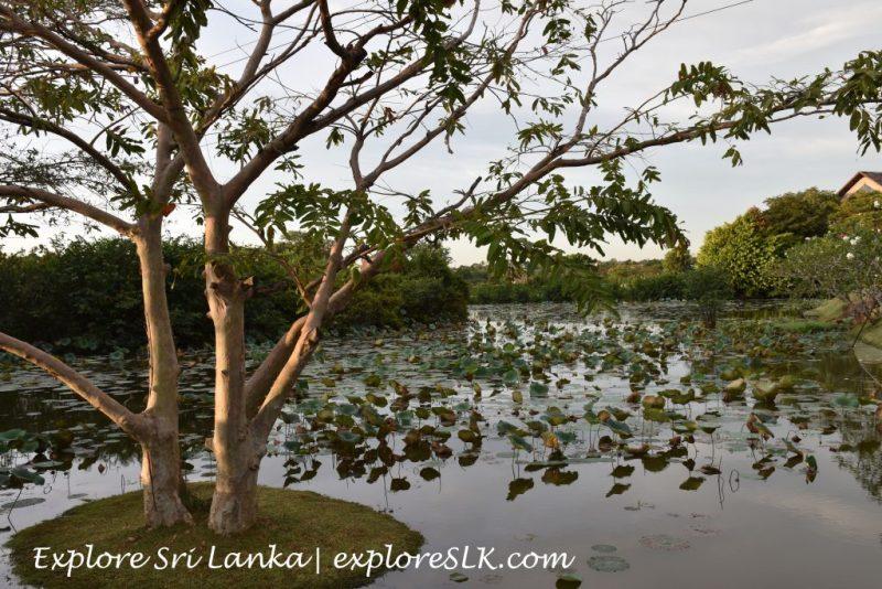A lotus pond