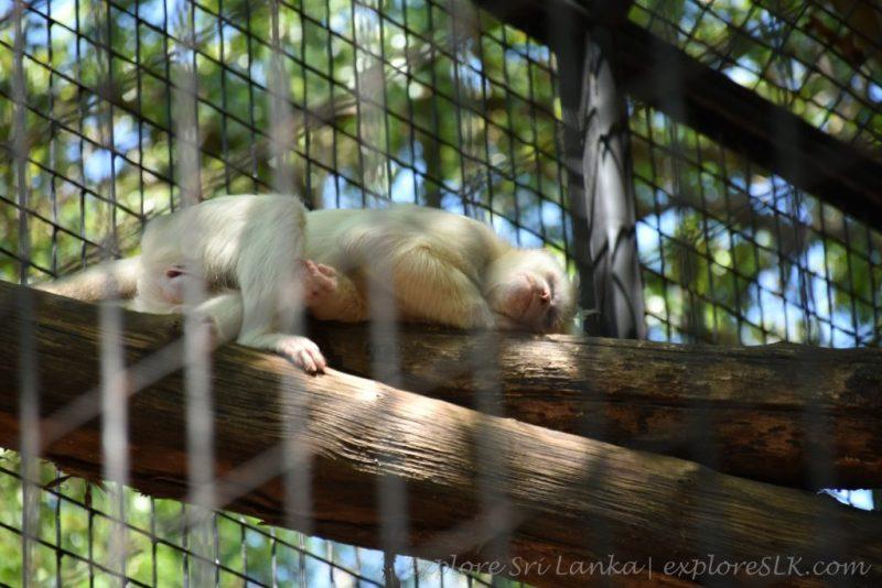 A sleeping monkey