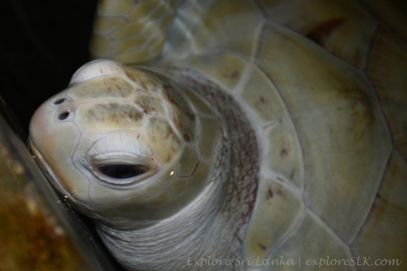 Albino Sea Turtle in Sea Turtle Hatchery in Sri Lanka