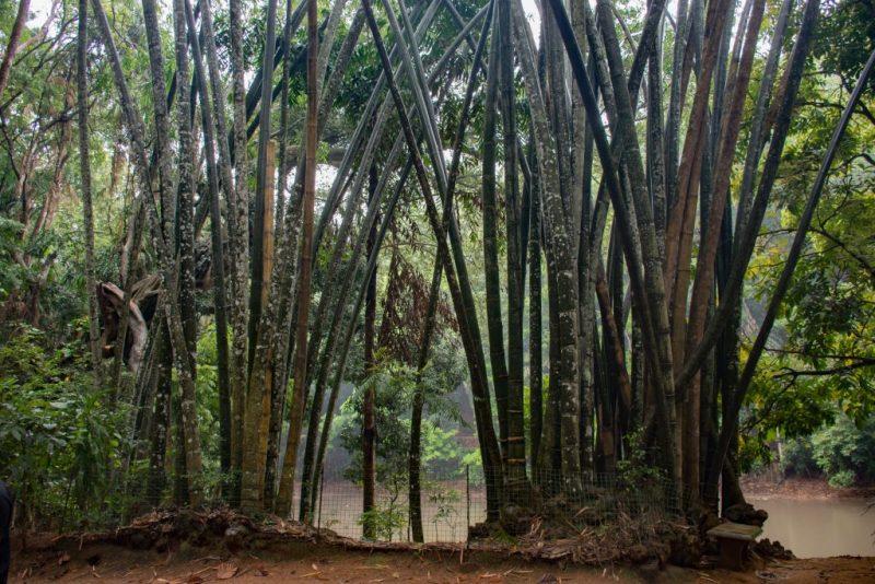 Giant Bamboo at Udawatta Kele