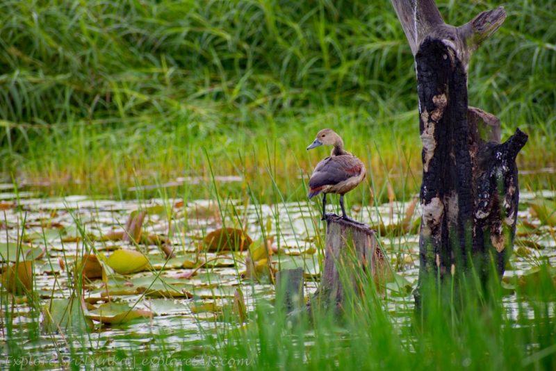 Ducks in Beddagana Wetland Park
