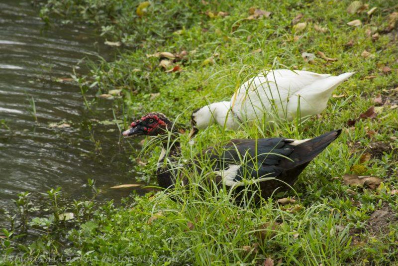Geese on Urban Wetland Park