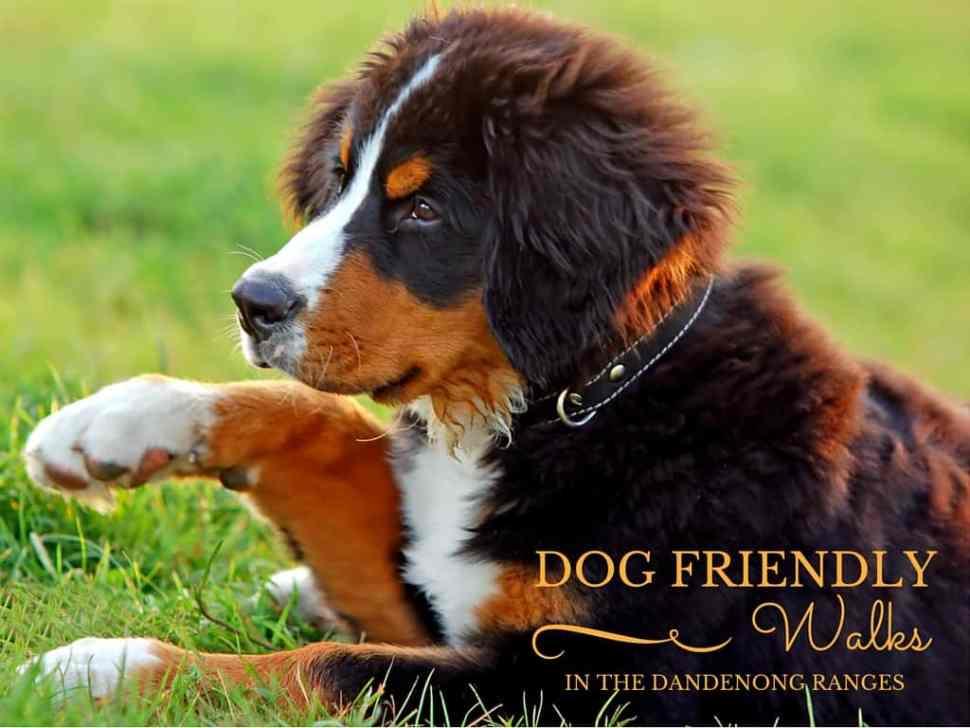 Dog Friendly Walks in the Dandenong Ranges