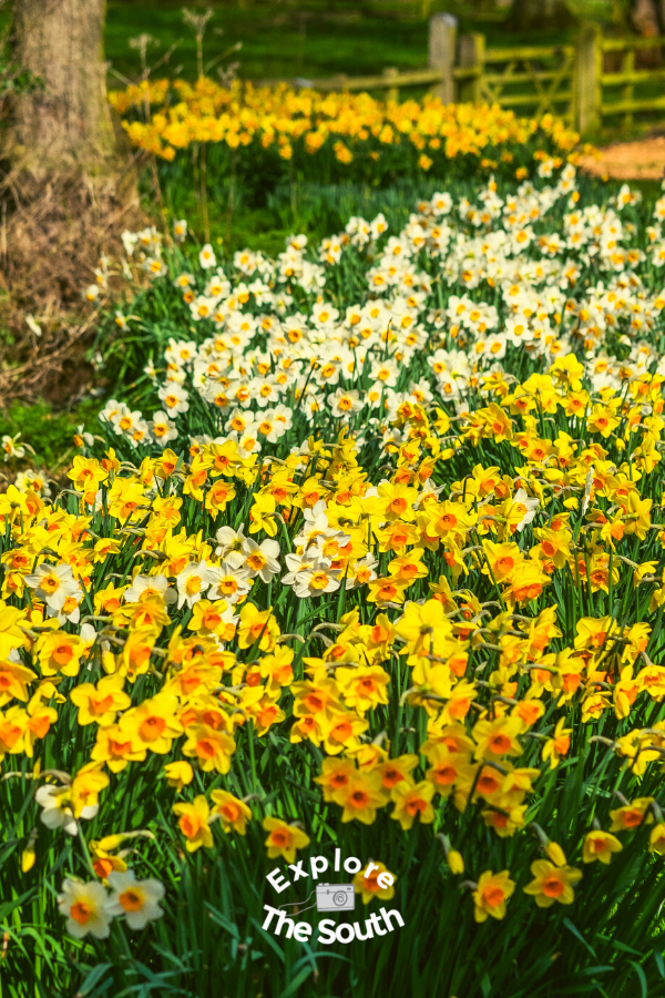 A large bed of  yellow and white Daffodils blooming