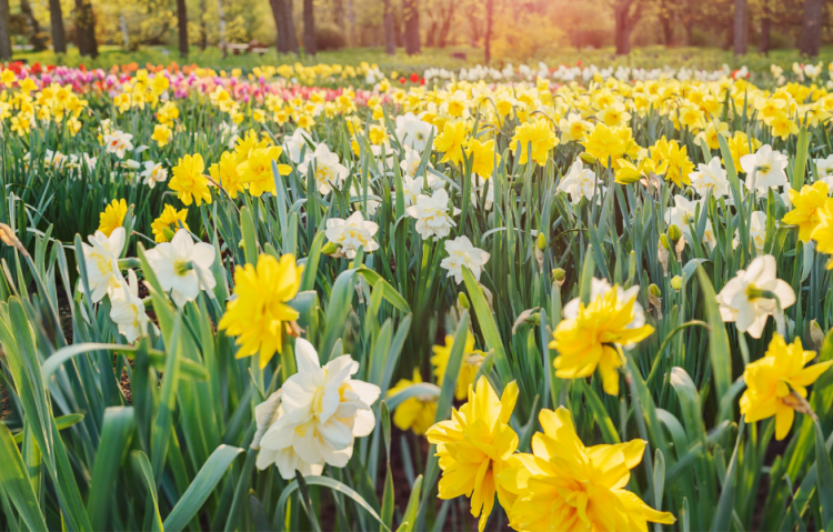 a Field of yellow and white double daffodils