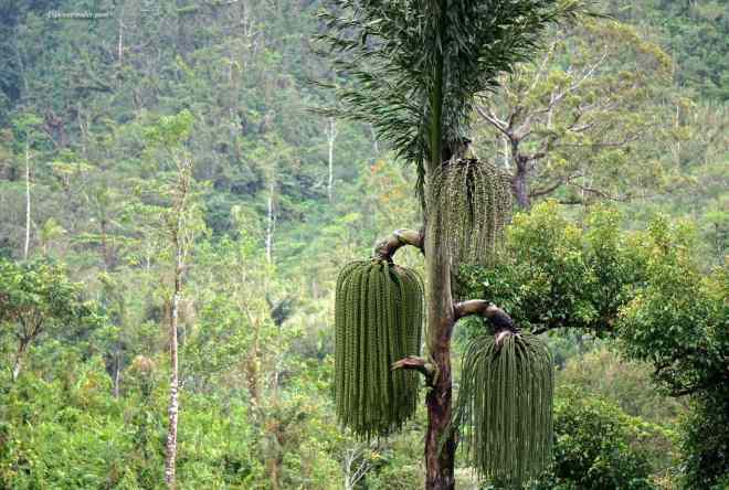 Philippines jungle tree