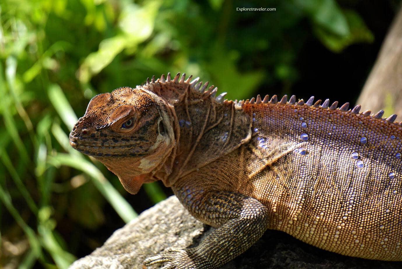 Sailfin Dragon