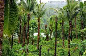 Rainforest trees in the fertile Amandiwin mountain range on Leyte Island Philippines
