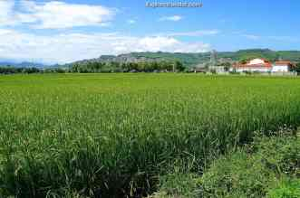 Emerald green rice fields