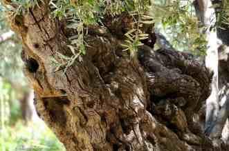 Garden Of Gethsemane Sycamores