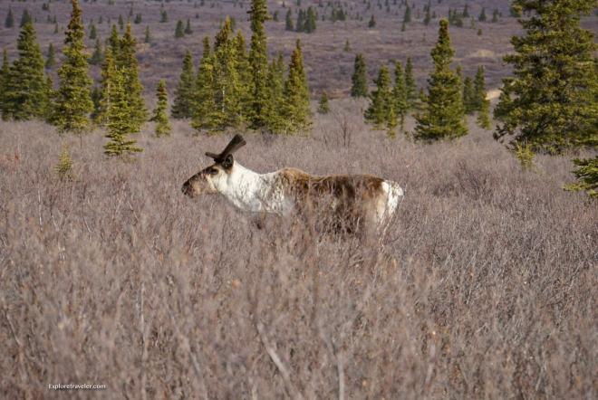 Caribou-Denali-National-Park