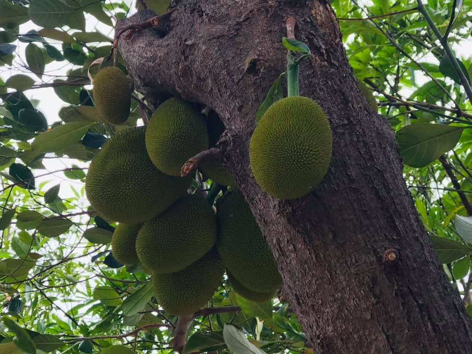 Exploring Majalengka Indonesia Gudeg green jack fruit Indonesia