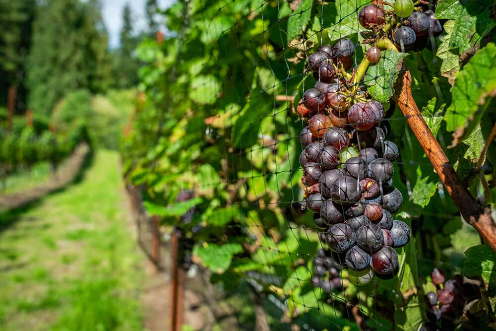 grapes-on-the-vine