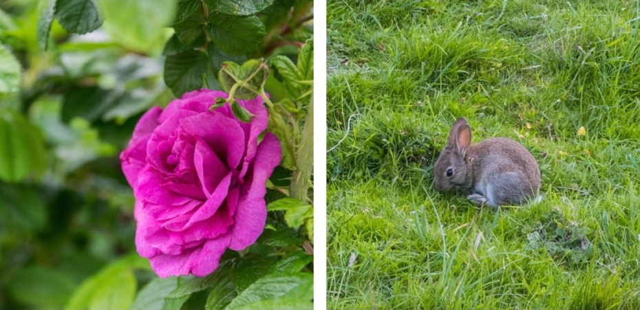 Dunraven Walled Gardens, Rabbit, Glamorgan Heritage Coast, Southerndown Beach