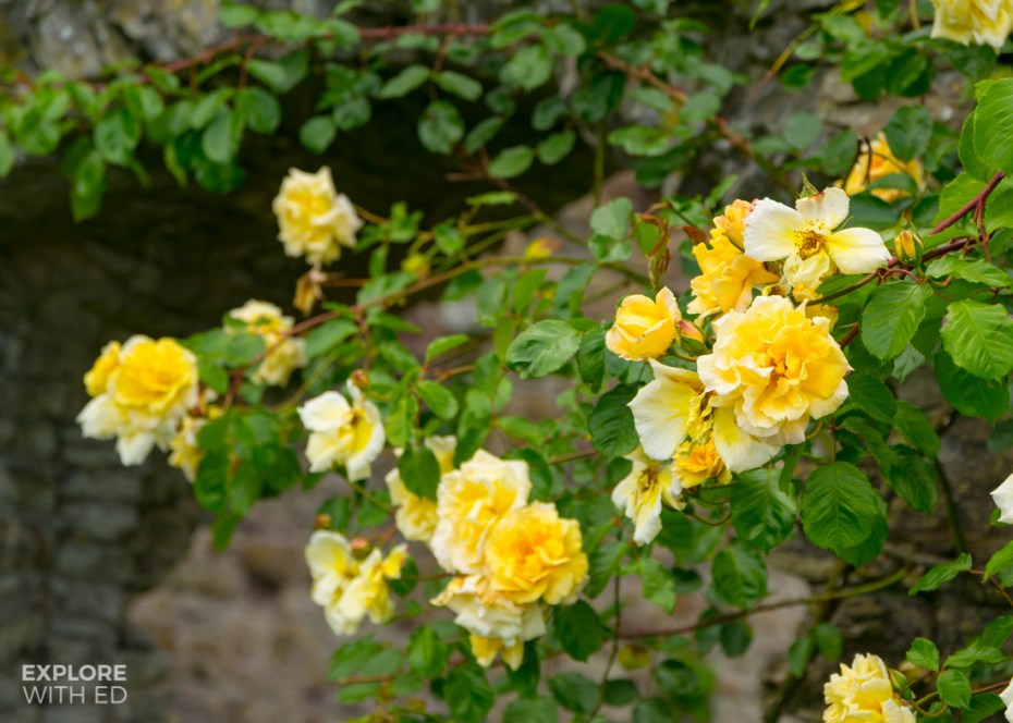 Yellow Roses in Usk