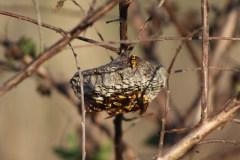 Hornet nest at Sweetwater Wetlands Park. Photo by Allison Jones