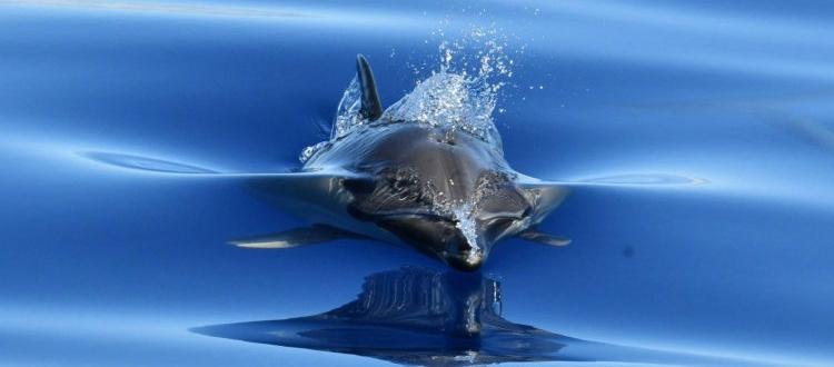Dolphin Madeira